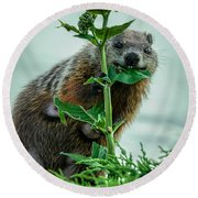 Mother Groundhog Fine Dining Round Beach Towel by Bob Orsillo