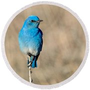Mountain Bluebird On A Stem. Round Beach Towel