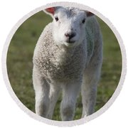 Northumberland, England A White Lamb Round Beach Towel