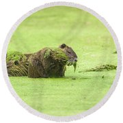 Round Beach Towel featuring the photograph Nutria In A Pesto Sauce by Robert Frederick