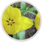Round Beach Towel featuring the photograph One And A Half Yellow Tulips by Michelle Calkins