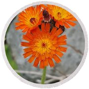 Orange Hawkweed Round Beach Towel