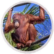Orangutan On Ropes Round Beach Towel