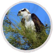 Osprey In Tree Round Beach Towel