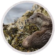 Otter Relaxing On Rocks Round Beach Towel