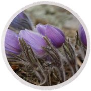 Pasque Flower Watercolor Round Beach Towel