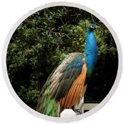 Round Beach Towel featuring the photograph Peacock On A Fence by Jean Noren