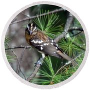 Perched In The White Pine Round Beach Towel