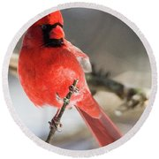 Perching Mister Cardinal Round Beach Towel
