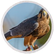 Peregrine Falcon Wildlife Art By Kaylyn Franks Round Beach Towel