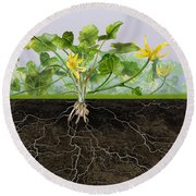 Pilewort Or Lesser Celandine Ranunculus Ficaria - Root System -  Round Beach Towel