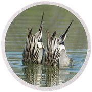 Round Beach Towel featuring the photograph Pintail Ducks Dive by Tam Ryan