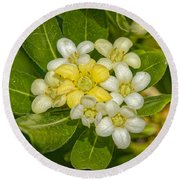 Pittosporum Flowers Round Beach Towel