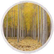 Poplar Tree Farm In Fall Season Round Beach Towel