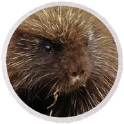 Round Beach Towel featuring the photograph Porcupine by Glenn Gordon