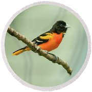 Portrait Of A Singing Baltimore Oriole Round Beach Towel
