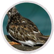 Preening Turnstone Round Beach Towel by John Topman