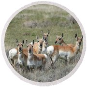 Pronghorn Harem Round Beach Towel