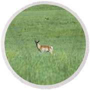 Pronghorn In A Sea Of Green Round Beach Towel