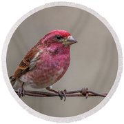 Round Beach Towel featuring the photograph Purple Finch On Barbwire by Paul Freidlund