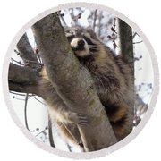 Afternoon Nap-raccoon Up A Tree  Round Beach Towel