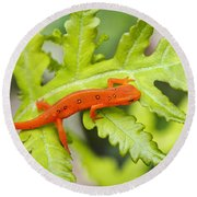 Red Eft Eastern Newt Round Beach Towel by Christina Rollo