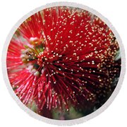 Callistemon - Bottle Brush 5 Round Beach Towel