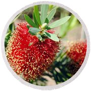 Callistemon - Bottle Brush 4 Round Beach Towel