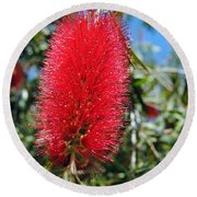 Callistemon - Bottle Brush 2 Round Beach Towel
