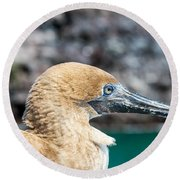 Red Footed Booby Juvenile Round Beach Towel by Jess Kraft