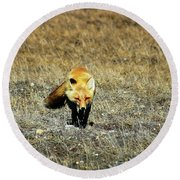 Round Beach Towel featuring the photograph Red Fox On The Tundra by Anthony Jones