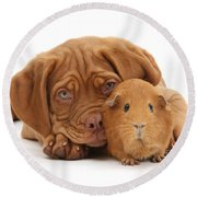 Red Guinea Pig And Dogue De Bordeaux Round Beach Towel