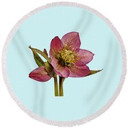 Red Hellebore Blue Background Round Beach Towel by Paul Gulliver