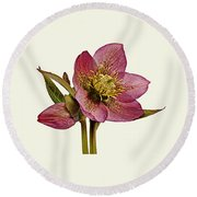 Red Hellebore Cream Background Round Beach Towel by Paul Gulliver