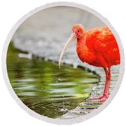 Round Beach Towel featuring the photograph Red Ibis by Alexey Stiop