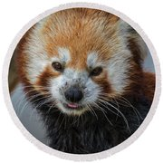 Round Beach Towel featuring the photograph Red Panda Portrait by Mitch Shindelbower