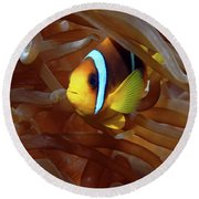 Red Sea Clownfish, Eilat, Israel 8 Round Beach Towel