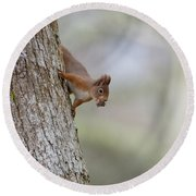 Red Squirrel Climbing Down A Tree Round Beach Towel