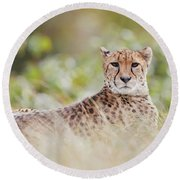 Round Beach Towel featuring the photograph Resting Cheetah by Nick Biemans
