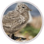Ring-billed Gull Chick 2016-1 Round Beach Towel by Thomas Young