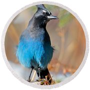 Rocky Mountain Steller's Jay Round Beach Towel