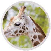 Rothschild Giraffe Round Beach Towel