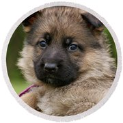 Round Beach Towel featuring the photograph Sable Puppy In Heart by Sandy Keeton