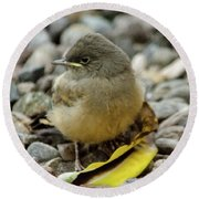 Say's Phoebe Fledgling Round Beach Towel