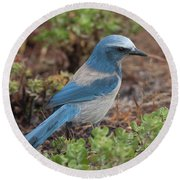 Scrub Jay Framed In Green Round Beach Towel