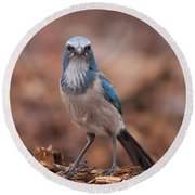 Scrub Jay On Chop Round Beach Towel