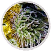 Round Beach Towel featuring the photograph Sea Anemone And Squirrelfish by Perla Copernik