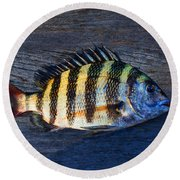 Round Beach Towel featuring the photograph Sheepshead Fish by Laura Fasulo