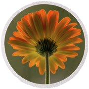 Shine Bright Gerber Daisy Square Round Beach Towel by Terry DeLuco