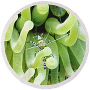 Round Beach Towel featuring the photograph Shrimp And The Anemone by Amy McDaniel